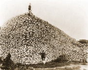 Buffalo skulls